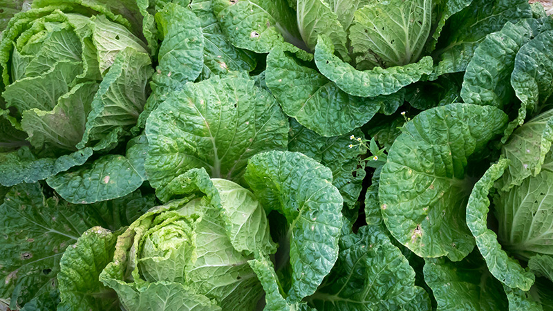 Green Cabbages ready to be harvested